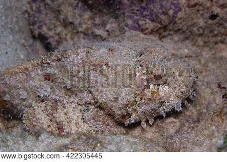 Spotted Scorpionfish On Coral Reef Off The Tropical Island Of Bonaire In The Caribbean Netherlands.