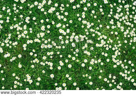 White Daisy Flower Background. Daisy Flower Pattern. Green Lawn Spring Texture. Green Grass Floral B