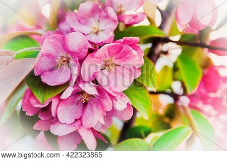 Large Flowers With Pink Petals And Yellow Stamens Bloomed On The Apple Trees. The Apple Tree Branch