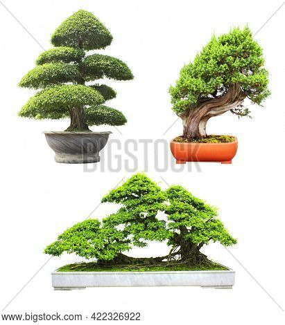 Collection of bonsai tree. Set of bonsai of different shapes in flower pots. Isolated on white background