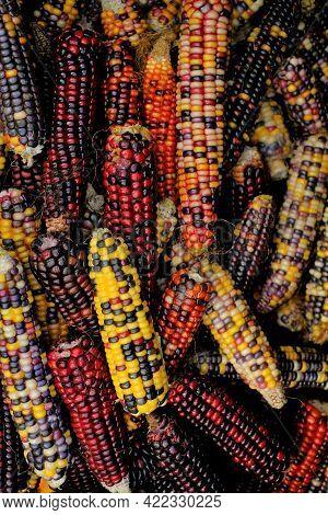 Colored Corn Cobs.cereals And Grain Culture. Multicolored Corn.variegated Corn Texture. Corn Cobs Di