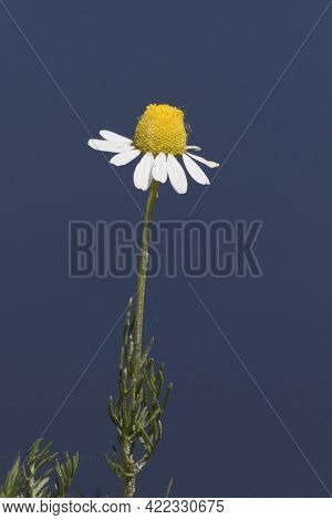 Wild Homeopathic Chamomile Plant Over Blue Sky