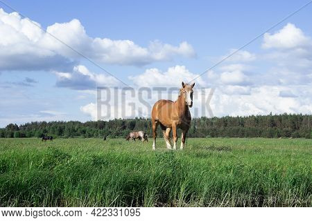 The Bay Horse Grazes On The Green Grass. Horses On A Green Meadow. Herd Of Horses. Farm.