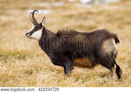 Fluffy Tatra Chamois Grazing On Alpine Meadow In The Mountains In Autumn