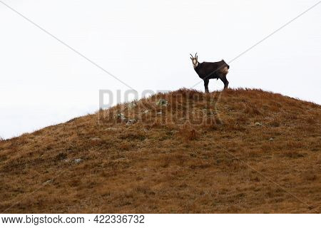 Tatra Chamois Standing In Distance On Hill Horizon With White Background
