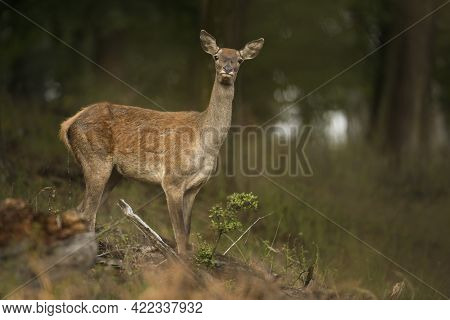 Alert Red Deer Hind Watching Autumn Forest With Blurred Background.