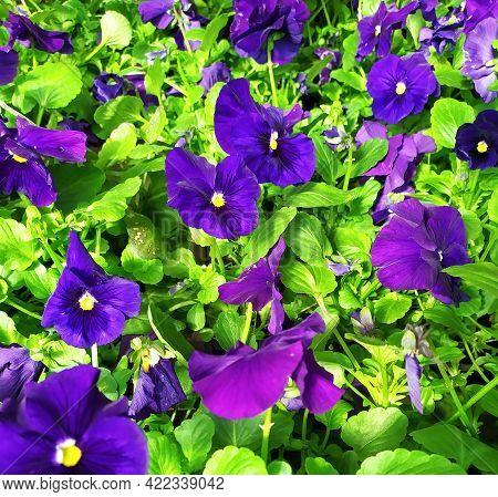 Beautiful Floral Background Of Purple Pansies, Purple Viola Flowers