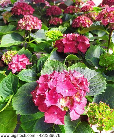 Beautiful Pink And Red Hydrangea Flowers In The Garden