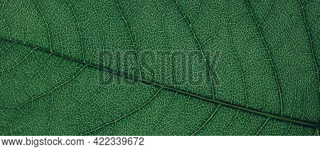 Translucent Leaf Of The Plant. Eco-friendly Background