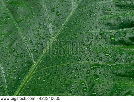 Falling Rain Drops On Green Plant Leaf. Kachu Pata Or Mammoth Elephant Ear Taro Cocoyam With Fresh W