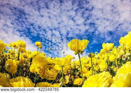 Sea of flowers. Lush yellow garden buttercups in a kibbutz field with a magnificent carpet. Spring in Israel. Wonderful trip for spring beauty