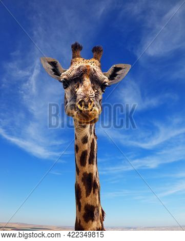 Giraffe with beautiful spotted skin and small horns african savannah. Funny Portrait. Jeep Safari Masai Mara, Kenya. The concept of active, environmental and photo tourism