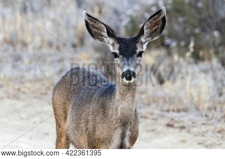 Friendly Mule Deer at Rocky Peak Park in the Santa Susana Mountains near Los Angeles and Simi Valley, California.looking,