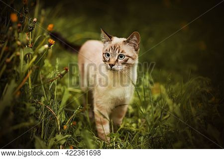 Cute Tabby Thai Kitten With Blue Eyes Walks Among The Tall Green Grass And Dandelion Flowers In The