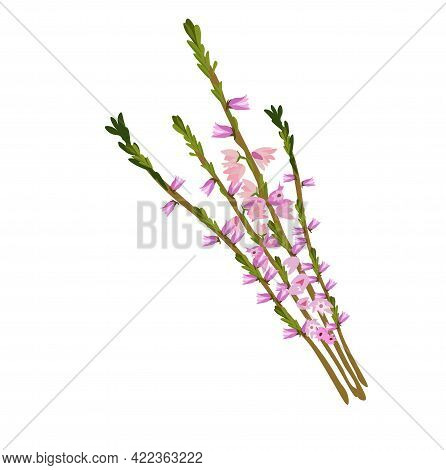 Heather Vector Stock Illustration. A Delicate Bouquet Of Pink Wildflowers. Isolated On A White Backg