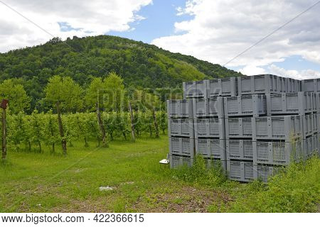 An Orchard Of Red Apples In Late May Near The Village Of Merso Di Sopra In Udine Province, Friuli-ve