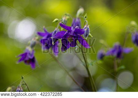 Close-up Of Violet Aquilegia Vulgaris European Columbine Flowers In The Spring Garden. Macro Photogr