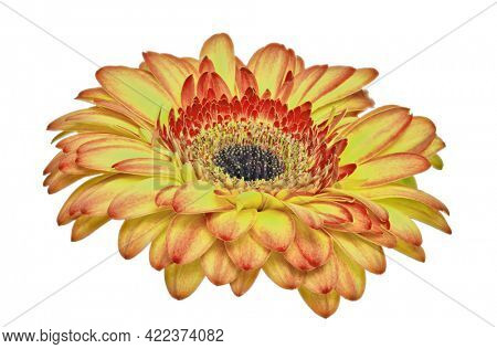 red and gold gerbera bloom isolated on white background
