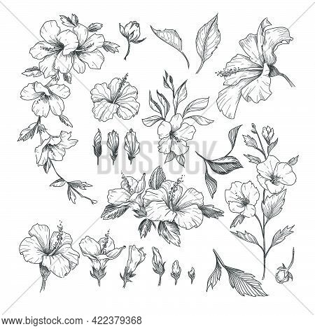 Hibiscus Engraved Illustrations Set. Hand Drawn Sketch Of Exotic Hibiscus Flower, Floral Outline Des