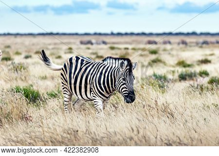 African plains zebra on the dry brown savannah grasslands browsing and grazing. Wildlife photography