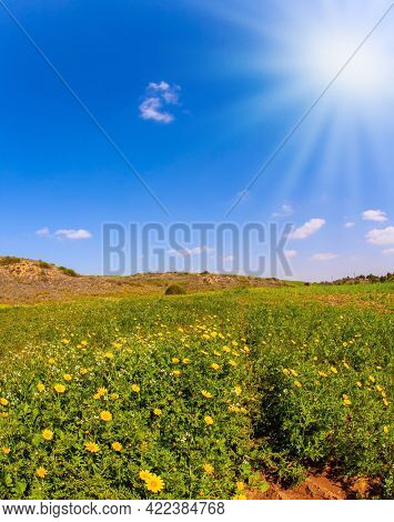 Spring bloom of the Negev Desert. Israel. Magnificent blooming spring. Field of blooming daisies in the bright southern sun. Blue sky and light clouds.