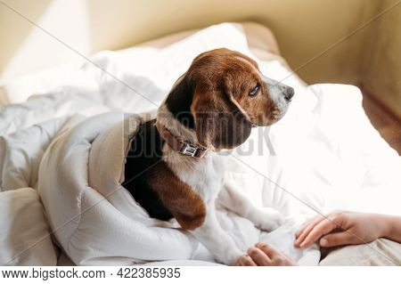Beagles Puppy Sleep In The Owners White Bed. Cute Little Beagle Puppy Laying At Bed In Blanket. Dog