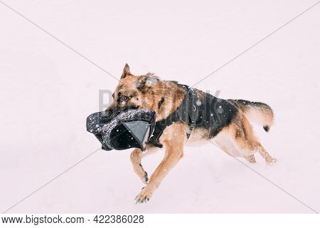 Purebred German Shepherd Dog In Special Outfit Running With Sleeve In Jaws During Training. Alsatian