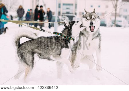 Two Funny Husky Dogs Funny Play Together Outdoor In Snow At Winter Day. Funny Pets