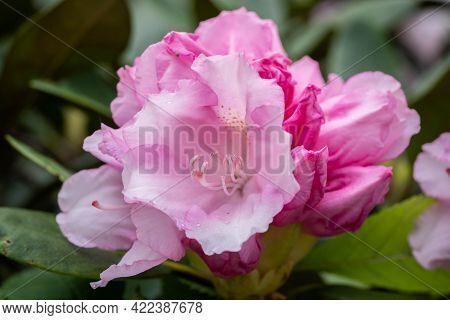 Lovely Pink Azalea Blooms In The Park