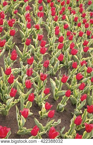 Working With Plants Is Great Pleasure. Beautiful Tulip Fields. Holland During Spring. Colorful Field