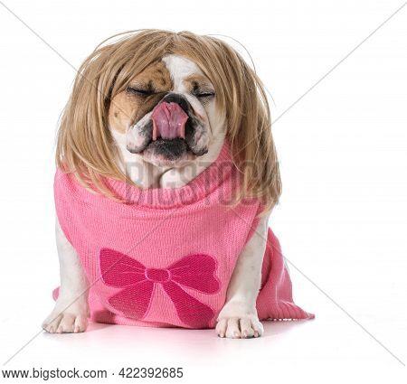 Female Bulldog Wearing Wig And Licking Lips