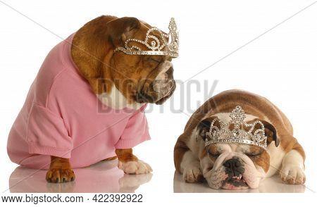 Spoiled Dogs - Two English Bulldogs Wearing Tiaras