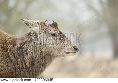 Close-up Of A Red Deer Having Recently Shed His Antlers, Uk