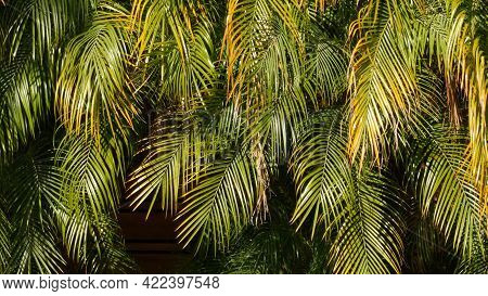 Exotic Jungle Rainforest Tropical Atmosphere. Palm Fresh Juicy Frond Leaves In Amazon Forest Or Gard