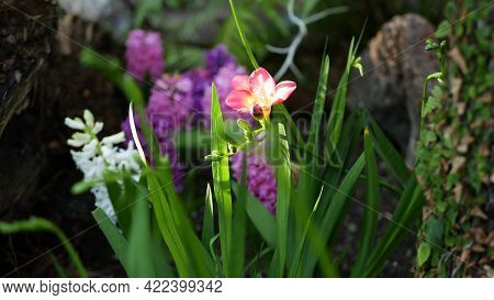 Tiny Freesia Hyacinth Purple Flower In Forest, California Usa. Springtime Morning Atmosphere, Delica