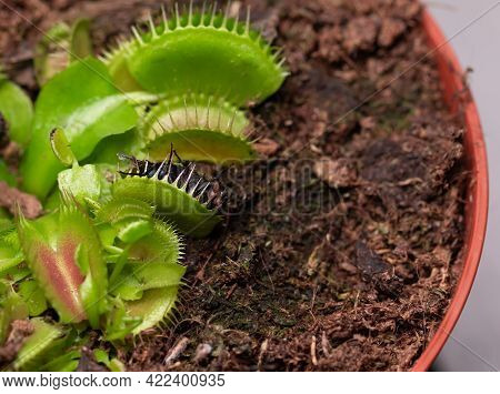 Fly In Small Flower Of Carnivorous Dionaea. Carnivorous Plant At Home As An Insect Trap Close-up