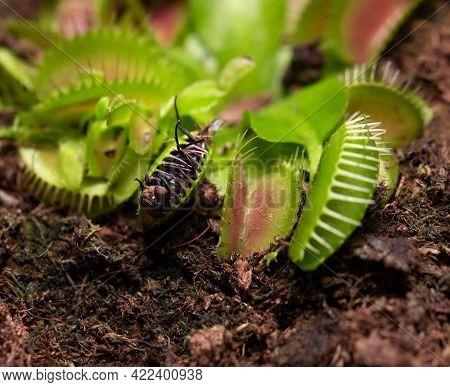 Venus Flytrap, Petals, Tropical Flower, Exotic, Natural Environment, Caged, Houseplant, Ambush, Carn