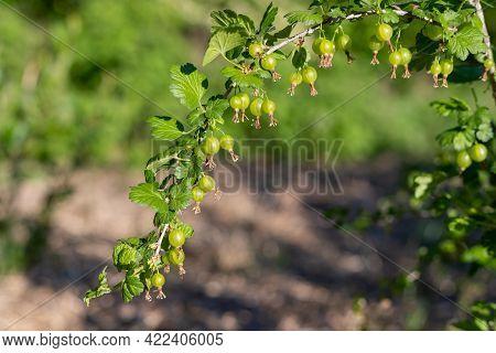 Unripe Green Gooseberries Growing On A Branch.