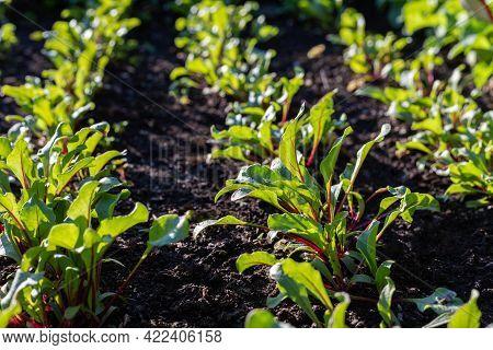 Beet Sprouts Grow In Garden. Vegetables Growing In Rows.