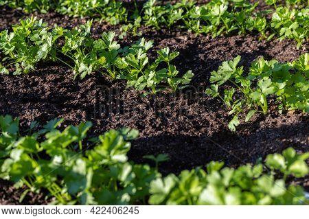 Green Parsley Herbs Grow In Garden. Vegetables Growing In Rows. Community Garden In The Local Park.
