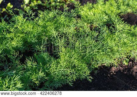 Green Dill Herbs Grow In Garden. Vegetables Growing In Rows. Community Garden In The Local Park. Cul