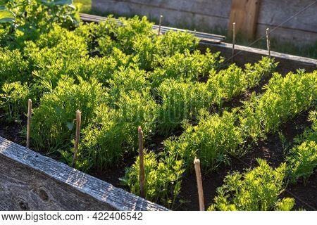 Carrot Growing In Vegitable Bed. Community Garden In The Local Park.