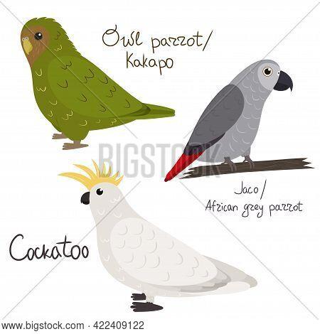Set Of Parrot - Cockatoo, Owl Parrot Kakapo , Jaco African Grey , In Cartoon Style On White Backgrou