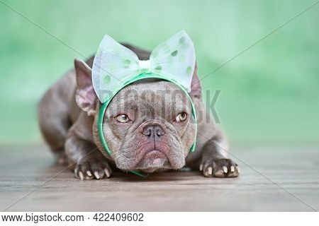 French Bulldog Dog With Ribbon Headband Lying Down In Front Of Green Background