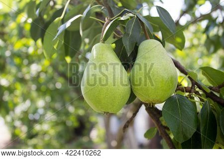 Pear, Juicy Fresh Pear Hanging On A Tree Branch In The Garden. Ripe Pear Tree.