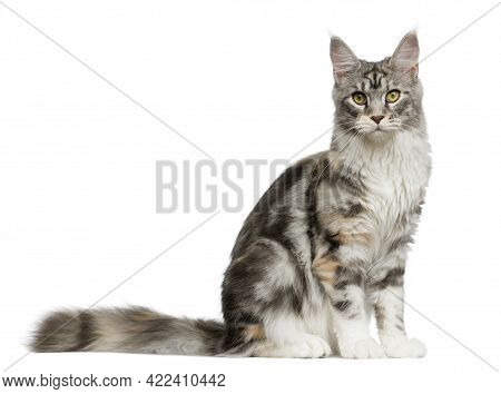 Maine Coon Sitting In Front Of A White Background-cat Pictures, Cat Eyes, Pictures Of The Most Beaut