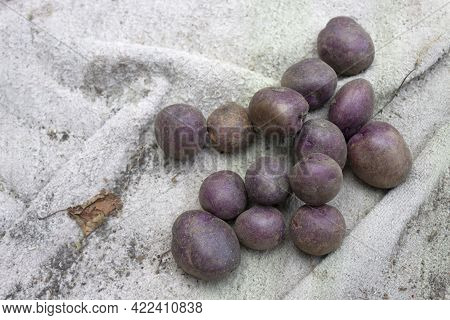 Potatoes, Potato Harvest. Dark Potato Variety, Unique And Purple.
