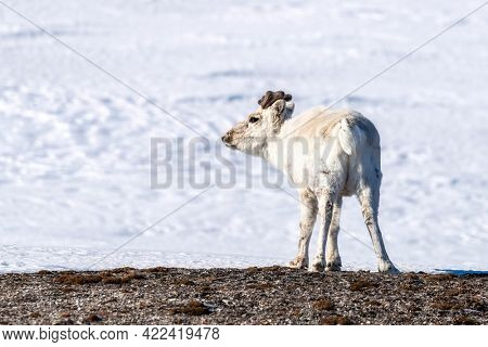 Young reindeer, Rangifer tarandus,stands in the pristine white snow of Svalbard, a Norwegian archipelago between mainland Norway and the North Pole