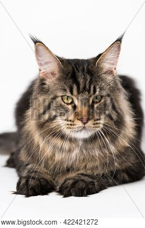 Portrait Of Mackerel Tabby Maine Coon Cat. Obedient Longhair Cat Breed American Coon Cat Lying On Wh