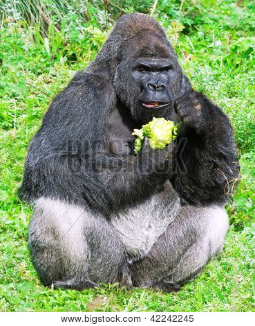 large male silver back western lowland gorilla (gorilla gorilla gorilla) eating vegetation in a seating position